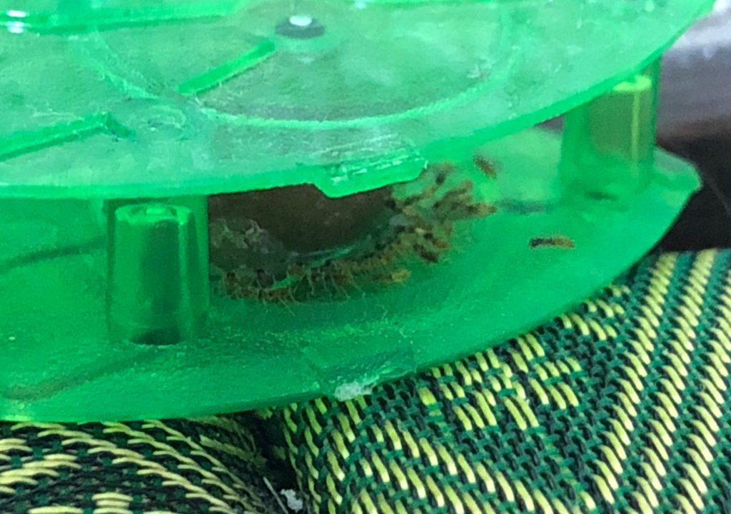 ウルトラ巣のアリフマキラー小さい蟻