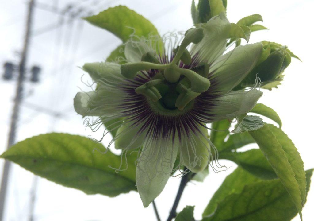 トケイソウ 花 ベランダ栽培